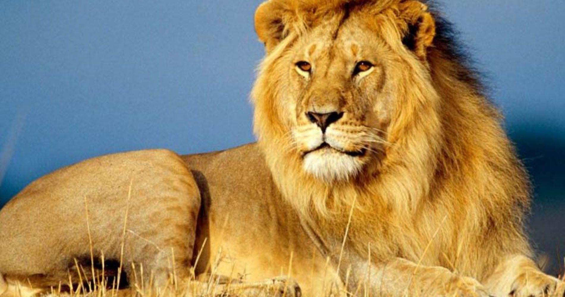 Leone-africano-1200x480-1.jpg